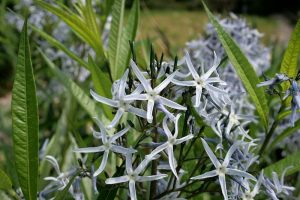 Amsonia Flower