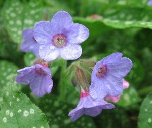 Lungwort Flower