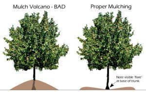 Proper Tree Mulching