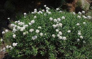 Candytuft Flower
