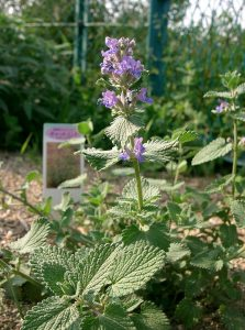 Catmint Flower