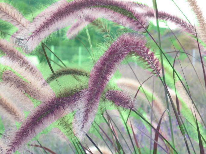 fountain_grass