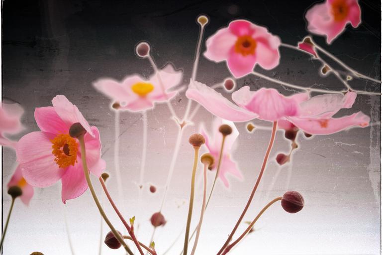 pink_anemone