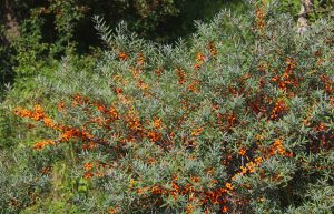 Native Plant Alternatives to Invasive Common Buckthorn