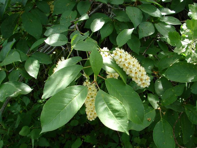 prunus_virginiana_chokecherry