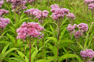 Joe-Pye Weed wild flowers